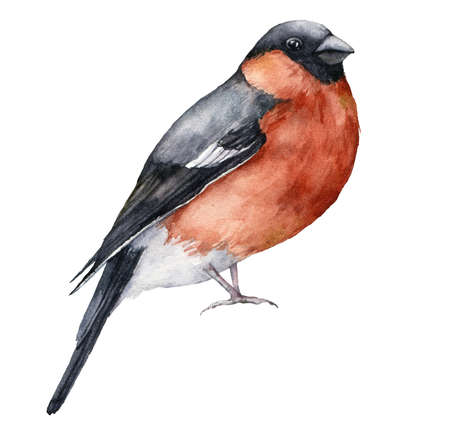 Watercolor card with bullfinch. Hand painted winter holidays bird isolated on white background. Wildlife illustration for design, print, fabric or background.