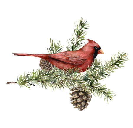 Watercolor Christmas card with cardinal bird, fir branches and cones. Hand painted holiday card with spruce trees isolated on white background. Illustration for design, print, fabric, background.