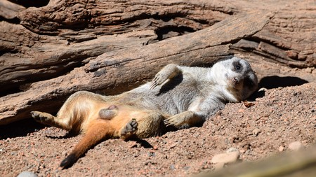 Lazy Day Meerkat