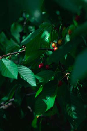 Wild cherry tree Stock fotó - 155450350