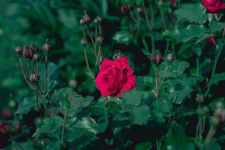 Red rose Stock fotó