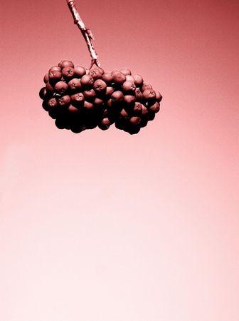 Hanging Berries Stok Fotoğraf