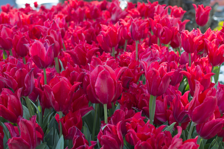 Istanbul tulip time.  Red tulip garden. they ranked