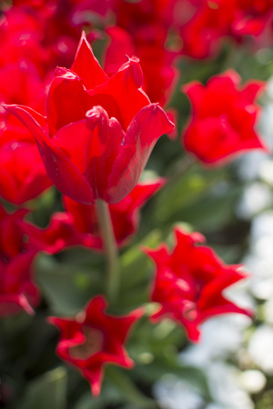 Istanbul tulip time. First spring opens first flowers Stock Photo
