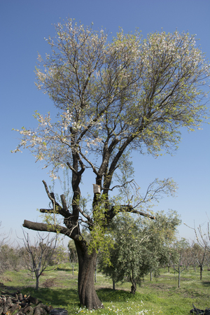 about age: The age of the tree has exceeded 40 years. size about 15 meters