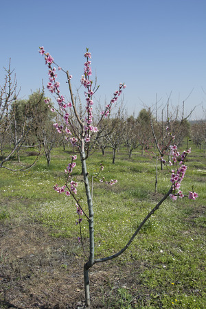 adds: Peach blossom pink color adds beauty to the garden.The first flower will bloom, the summer will be fruit