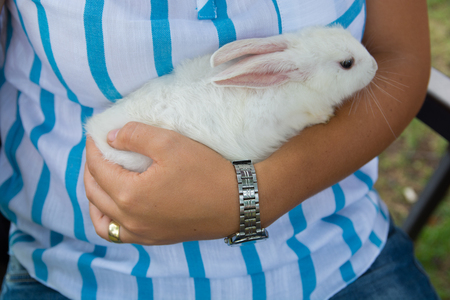 white rabbit lies in woman arms.cute and docile