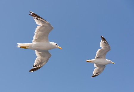 two gulls flying together in the blue sky Stok Fotoğraf