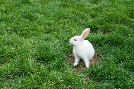 White rabbit playing in the grass. with curious looks