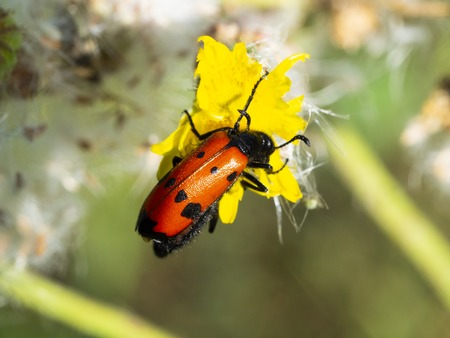 red wingered-winged, black-spotted, insect is picking pollen from yellow daisyd, black spotted, bug.