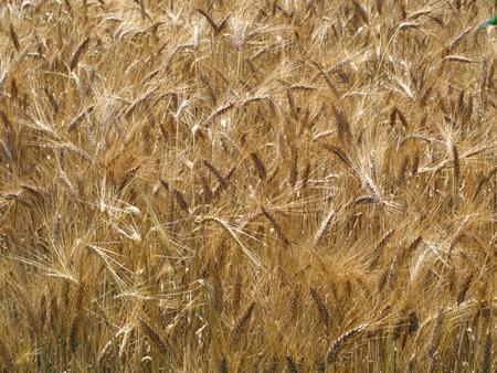Wheat field. Golden color dry wheat ears, spike. ripened wheat field background. Rich harvest. Stock fotó