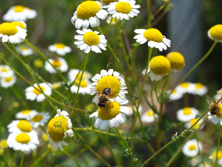 yellow prairie daisies. honey bee pollen collecting