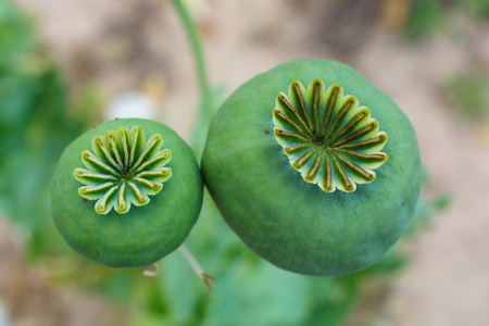 opio, cápsula de amapola. Agricultura de planta de amapola. Planta industrial farmacéutica. ingrediente principal de la morfina