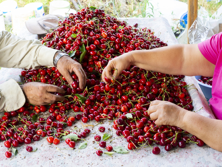the workers are choosing cherry. fresh organic cherries background. Red fresh bunch of cherries on the table. fresh red cherry heap. cherry selective workers Banque d'images