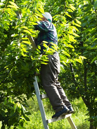 cherry picker worker. Worker collects fruit from cherry tree. daily worker