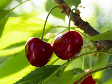 fresh organic cherries. red fresh cherry on the tree. fresh red cherry heap. macro shooting on tree.