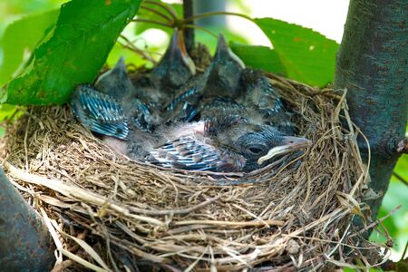 Blue winged Jay(crow), raven cub nest.Birds nest in its natural environment