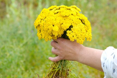 yellow yarrow.  Achillea millefolium. it is used as an alternative drug method for the treatment of digestive, inflammation and skin diseases. Stok Fotoğraf