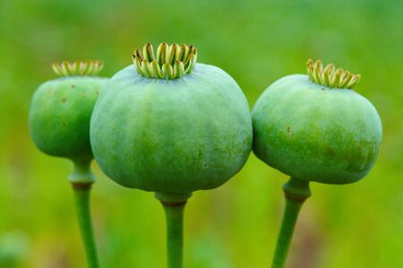 opium, poppy capsule. Agriculture of poppy plant. pharmaceutical industrial plant. main ingredient of morphine Stok Fotoğraf