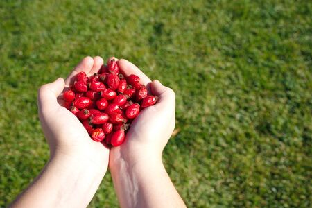 a handful of rosehip. Tea and marmalade are made.Vitamin C store. green background
