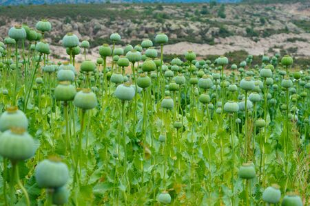 poppy field. opium, poppy capsule and flowers. Agriculture of poppy plant. pharmaceutical industrial plant. main ingredient of morphine