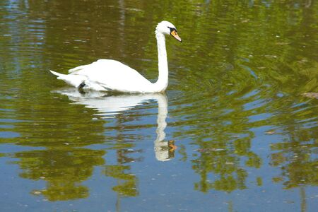 swan in the wild nature life. Wild animals. image of swan is reflected in lake