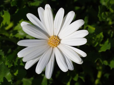 white african daisy. macro shot of garden and ornamental flowers Stok Fotoğraf