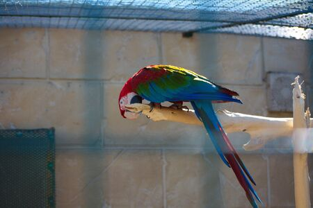 Scarlet Macaw are large, beautiful parrot with red, yellow and blue feathers. Banque d'images - 132115730
