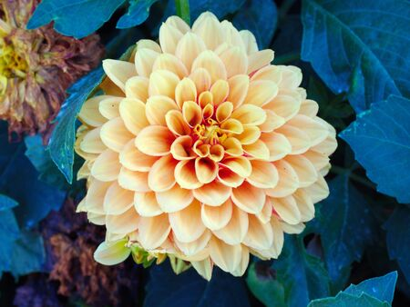 yellow dahlia flower. macro shot of garden and ornamental flowers