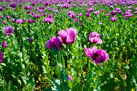 poppy field. opium, poppy capsule. Agriculture of poppy plant. pharmaceutical industrial plant. main ingredient of morphine