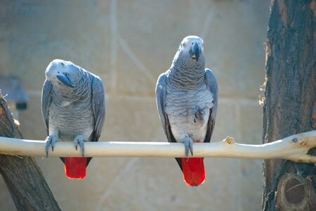African Grey Parrots. wild nature life