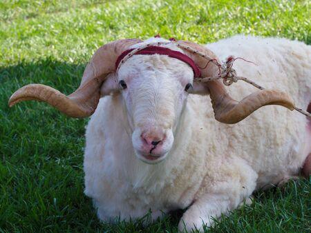 sacrificial lamb. big horned sacrificial ram Stock Photo