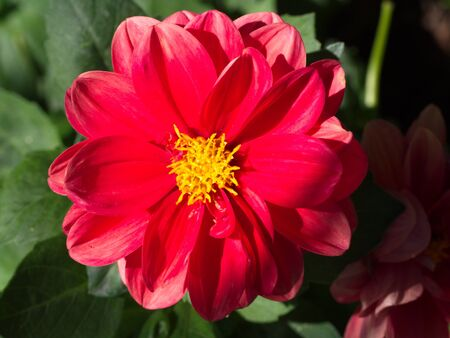 red cosmos flower. macro shot of garden and ornamental flowers Banque d'images - 132115065