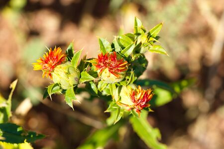 safflower(Carthamus tinctorius). liar saffron, Safflower oil is made from seeds