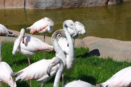 Beautiful, white, pink flamingos beside the pond.  wild nature life. Animals in Wildlife 스톡 콘텐츠