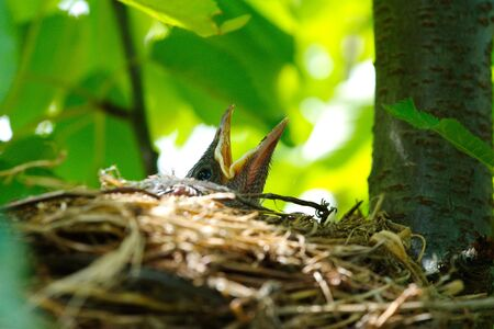 Blue winged Jay(crow), raven cub nest.Bird's nest in its natural environment