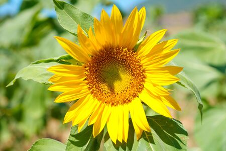 fresh sunflower plant. freshly ripe. cookie and sunflower oil raw material Stok Fotoğraf