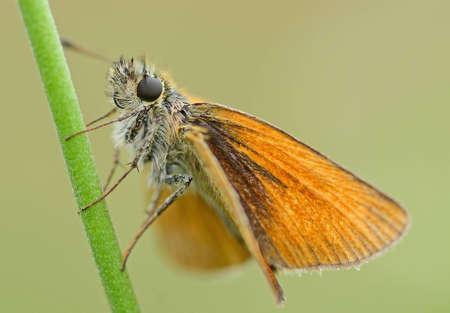 skipper: Large Skipper - Ochlodes sylvanus