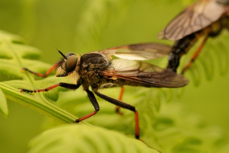 asilinae: hornet robberfly machimus atricapillus