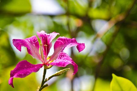 purpurea: Phanera purpurea Stock Photo