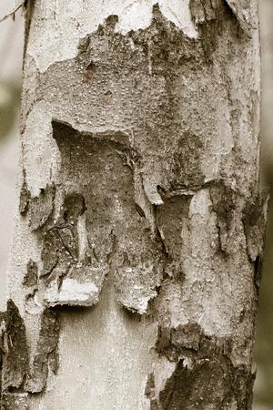 pealing: wood bark texture