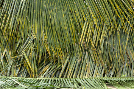 tropical evergreen forest: coconut leaves fence Stock Photo