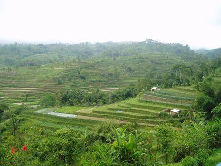 padi: padi field in Bali