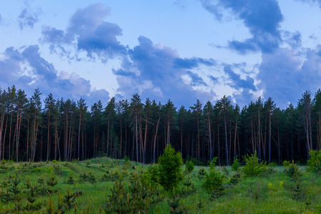 blue hour: The pine woods and the cloudy sky with the Moon in the blue hour