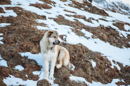 svan: Surefire cane Svan nelle montagne del Caucaso