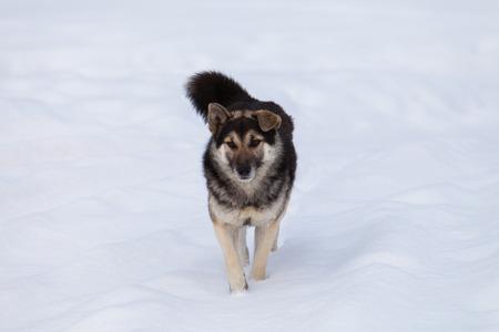 faithful: Faithful dog in snow valley, Svaneti, Georgia