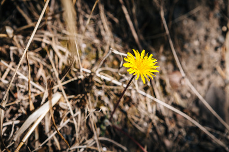 dry grass: A dandelion with dry grass background, spring scene