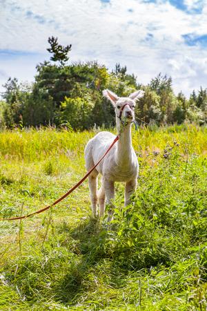 Funny alpaka in farm on Estonian island