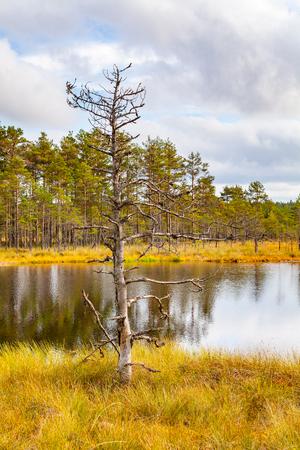 turba: Alone pine tree near swamp lake, autumn season. Viru bogs at Lahemaa national park Foto de archivo