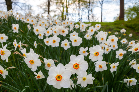 Beautiful meadow with blooming white narcissus flowers. Stock Photo
